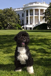 Bo the White House Dog